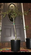 Acer Palmatum 'Tamukeyama' High Graft Japanese Maple Tree 4 Gal. Heat Tolerate