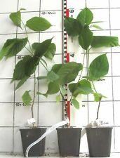 Broussonetia kazinoki  /  seltener japanischer Papiermaulbeerbaum      -Pflanze-
