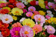 Moss Rose DOUBLE MIX - Portulaca Grandiflora - 1200 seeds - Flower