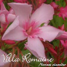 "Laurier-Rose "" Villa Romaine "" - Nerium Laurier-Rose - Taille C15"