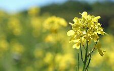 Mustard 200 Pcs Vegetable Bonsai Plants Home Garden Fast Growing Seeds Summer