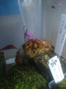 Utricularia smithiana - carnivorous bladderwort plant