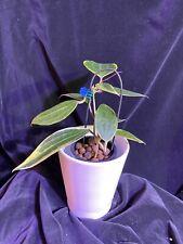Hoya macrophylla albomarginata, plant as pictured, actively growing