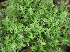 1000 Seeds BIO of Thyme Common / Cultivated Plant Aromatic