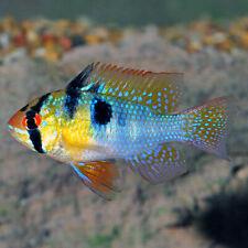 German Blue Ram Cichlid Live Fish Tropical Freshwater Aquarium Fish Cichlids