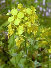 "Fenchel wild Foeniculum vulgaris 1000 exotische Samen /"" NUR 6 EURO/"""