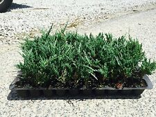 Bar Harbor Juniper - 30 Live Plants - Hardy Evergreen Groundcover
