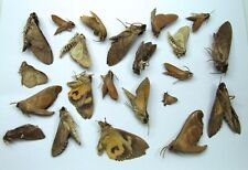 More details for tropical moth collection from asia and peru 22 unmounted insect specimens #cl07