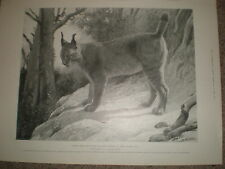 Sketches from life Zoological gardens Tibetan Lynx by Lascelles 1899 old print