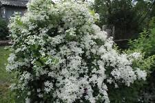 Mandschurica Clematis, Leatherleaf Clematis (Clematis Mandschurica) 50 seeds