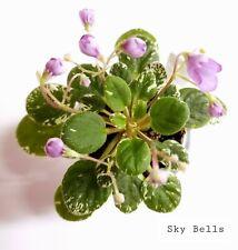 African Violet Sky Bells - Starter Plant/Plug