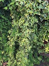 Organic Live California Variegated Ivy Cuttings
