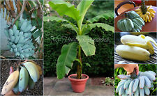 "SEEDS - EXTREMELY RARE Semi-Dwarf ""Blue Java"" or named Ice Cream Banana, Zone 8!"