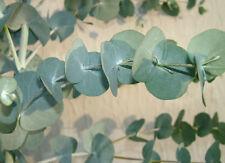 Tingiringi Gum (Eucalyptus glaucescens) - Seeds