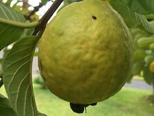 500+ S. California Home Garden Organic Large Sweet Guava Seeds, Pink Meat