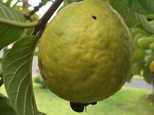 500+ Ruby Fragrant Tropical Guava, Psidium Guajava, Seeds