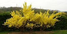 Lynwood Gold Forsythia - Live Plant - Shipped Over 2 Feet Tall