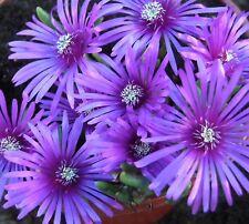 7 x Perennial rockery low growing  Delosperma Cooperi ( Hardy Ice Plant )