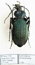 Carabus apotomopterus dechambreianus (female A2) from CHINA