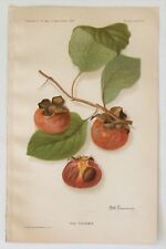 Ruby Persimmon 1907 Botanical Heirloom Fruit Chromolithograph Color Print