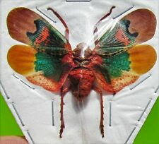 Colorful Planthopper Lanternfly Fulgorid Scamandra thetis Spread FAST FROM USA