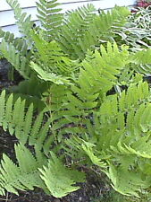 500 Interrupted Fern Spores Hardy Shade Plant