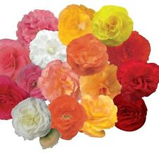 Begonia - Fortune Mixed F1 - 25 Pelleted Seeds
