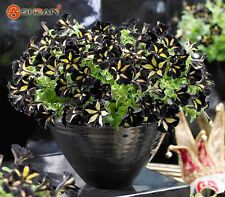 300 Black Color Star Petunia Seeds Garden And Patio Potted Plant Morning Glory