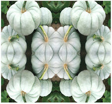 (5) Blue Doll F1 Hybrid Pumpkin Seeds - RARE and EXOTIC -  Combined S&H