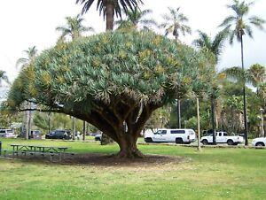 Dragon Blood Tree Dracaena Draco Canary Island palm bonsai succulent SB mission