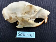 SQUIRREL Skull 3.5 cm professionally cleaned & sent quickly from the UK : SKULL