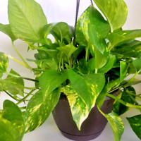 Pothos Golden live plant in a 8 inch Hanging Basket.