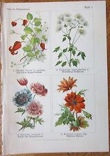 Vilmorin: Flowers Beautiful Print Clematis Anemone - 1896