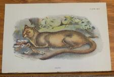 1890s Antique COLOR Animal Print///FOSSA