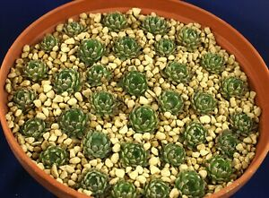 OROSTACHYS SPINOSA 3cm =1/25= cacti 仙人掌 กระบองเพชร kakteen #4626