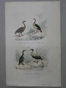 GRAVURE Oie Eider Bernache ornithologie Planches (G9)