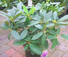 Rhododendron hybride Grandiflorum ca40cm hoch buschig gewachsen im 5l Topf