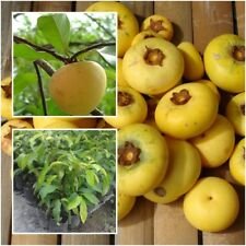Diospyros decandra Tree Plant Gold Apple Fruit Tropical From Thailand Tall 15''