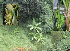 Winterharte Banane Musa Nagensium mit leckeren Essbananen Jungpflanze Zierbäume