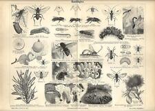 Stampa antica INSETTI IMENOTTERI Insecta 1890 Old antique print