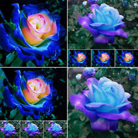 50pcs Rare Blue Pink Roses Plant Seeds Garden Balcony Potted Rose Flowers Seed