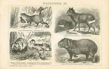 Tafel HAMSTER / LEMMING / WASSERSCHWEIN / MARA / AGUTI 1894 Original-Holzstich