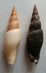 two Mitra swainsoni (formerly M. zaca), 73mm & 75mm, from the Las Perlas Islands