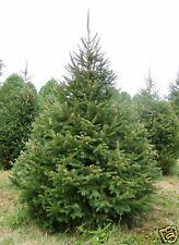 15 graines  EPINETTE DE NORVEGE (Picea Abies)NOËL G380 NORWAY SPRUCE SEEDS SAMEN