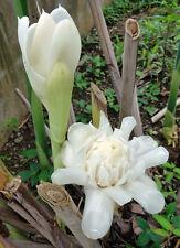 1 White and 1 pink Torch Rhizome = 2 + 1 plumeria cutting