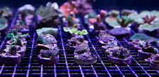 100 CURED REEF SMALL PLUGS LIVE CORAL FRAG PROPAGATION