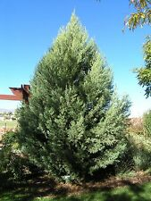 Ciprés de Arizona - CUPRESSUS ARIZONICA - 15 Semillas - jardín Árboles - Garden