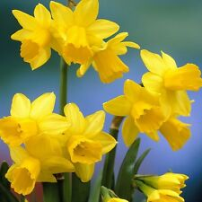 PRE-ORDER-100 x Tete a Tete Narcissus Bulbs. Easy to grow. Spring Flowers.