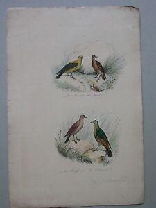 GRAVURE Loriot Grive Draine Planche Ornithologie (G120)