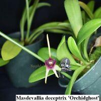 TN8309 Masdevallia deceptrix 'Orchidghost' 4'' Pot T490